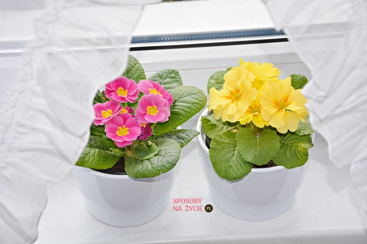Prymulka kwiat doniczkowy