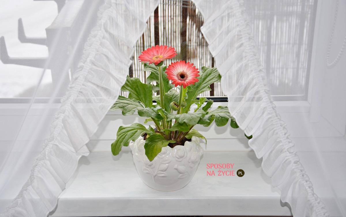 Gerbera doniczkowa uprawa