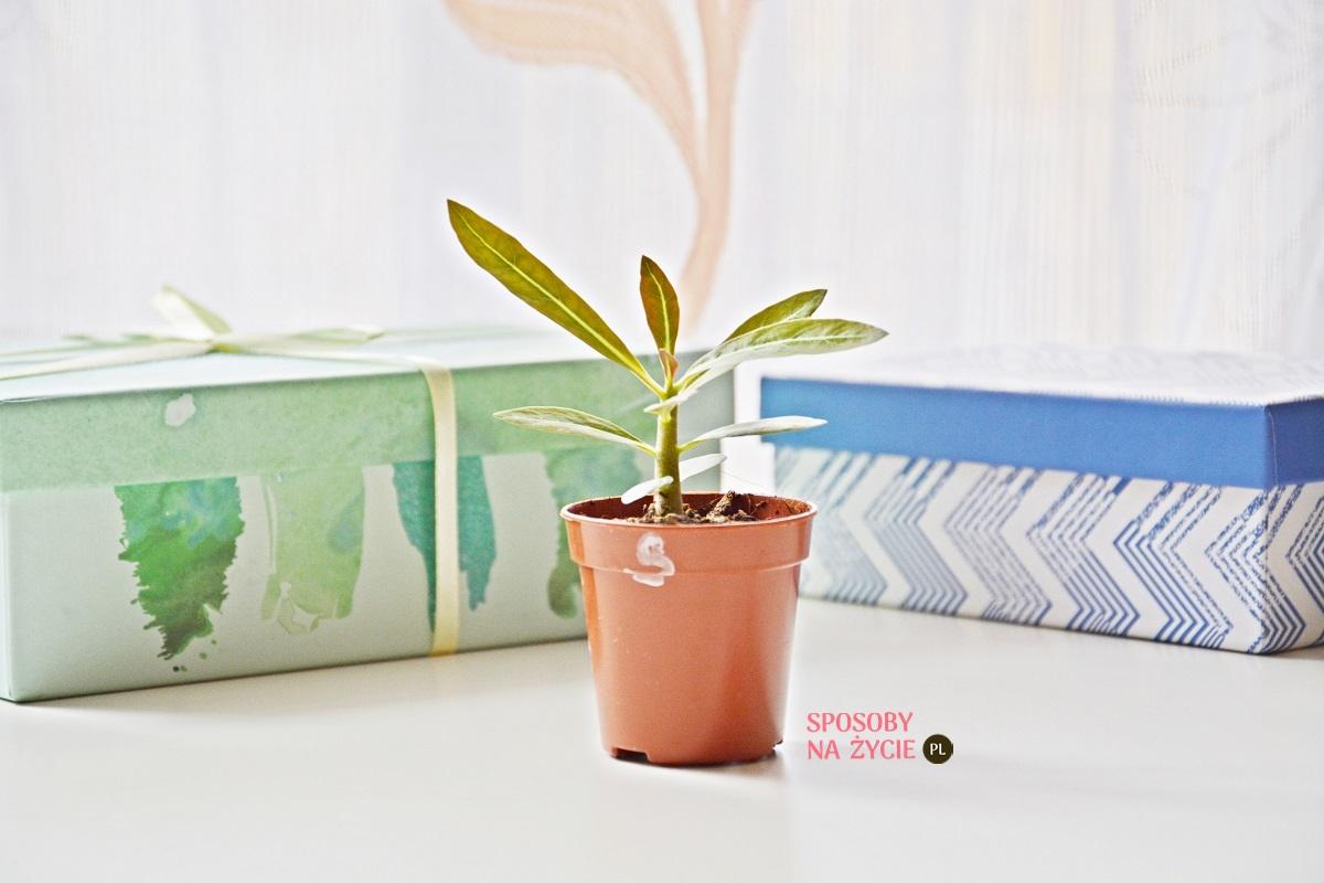 Adenium, Róża Pustyni, Mini Baobab - roślina doniczkowa