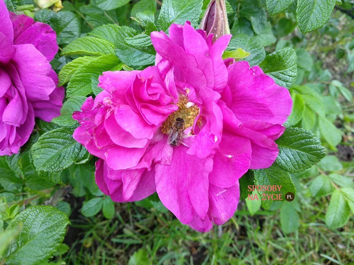 jak ratować pszczoły