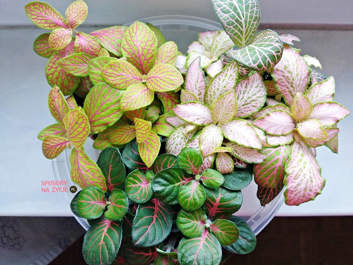 Fitonia – roślina z tropików o barwnych liściach