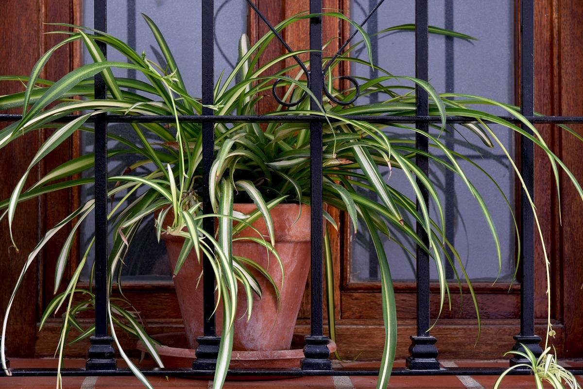 Zielistka - niewymagająca i zapomniana roślina doniczkowa