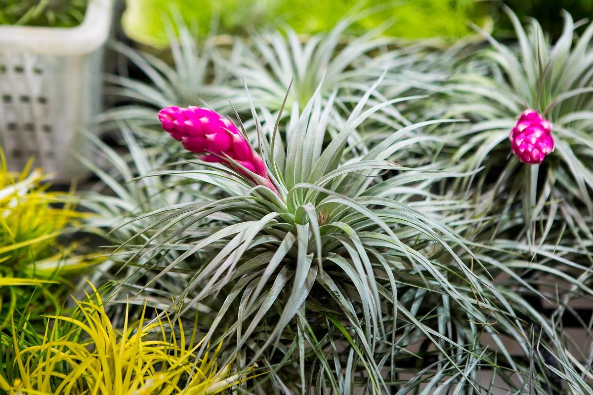 Bromelia - egzotyczne i barwne kwiaty z tropików