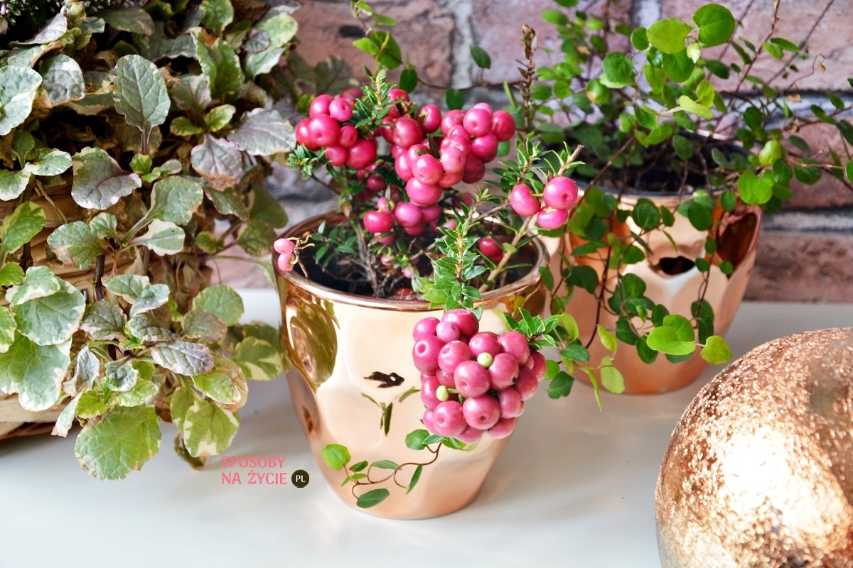 pernecja chilijska, golteria chilijska, pernecja ostrokończysta blog ogrodniczy