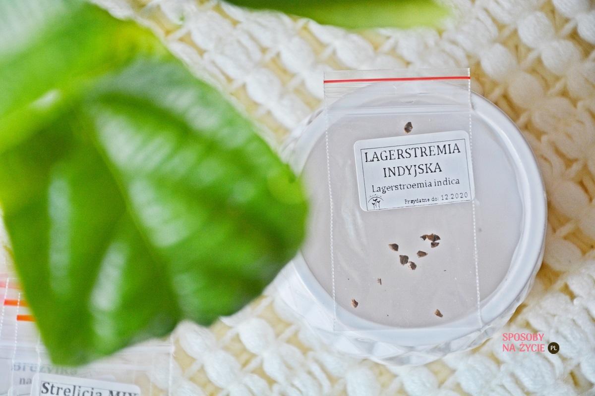 Lagerstremia indyjska (Lagerstroemia Indica)