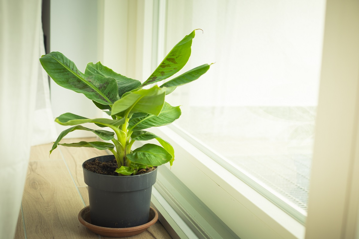 Bananowiec doniczkowy - roślina egzotyczna łatwa w domowej uprawie