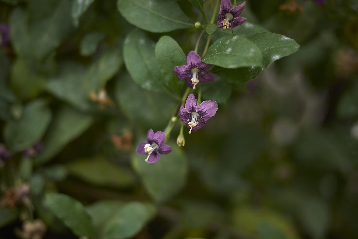 jagody goji - uprawa, pielęgnacja, przycinanie, choroby, odmiany, jak jeść
