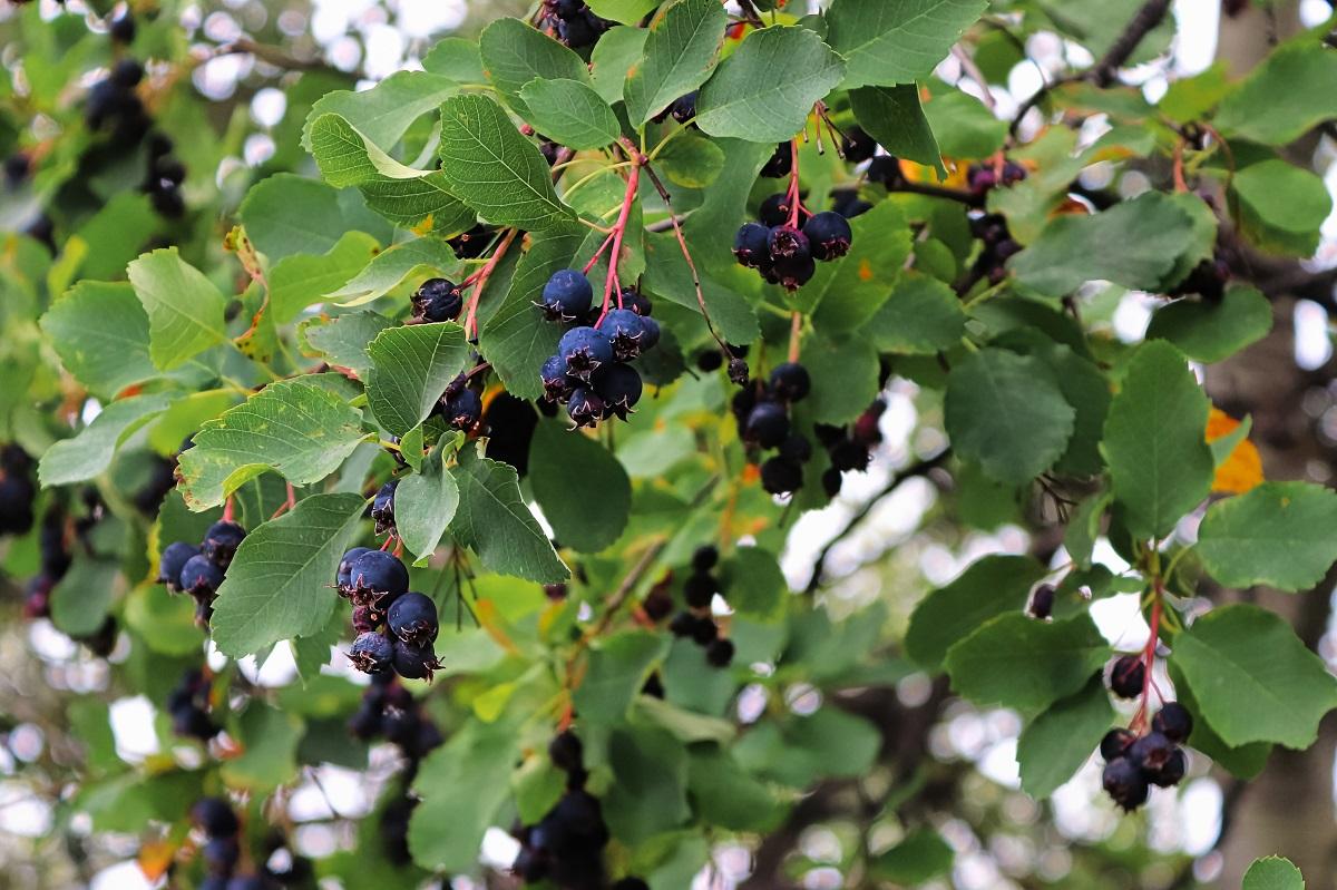 Świdośliwa - niezwykły krzew, który musisz mieć w ogrodzie